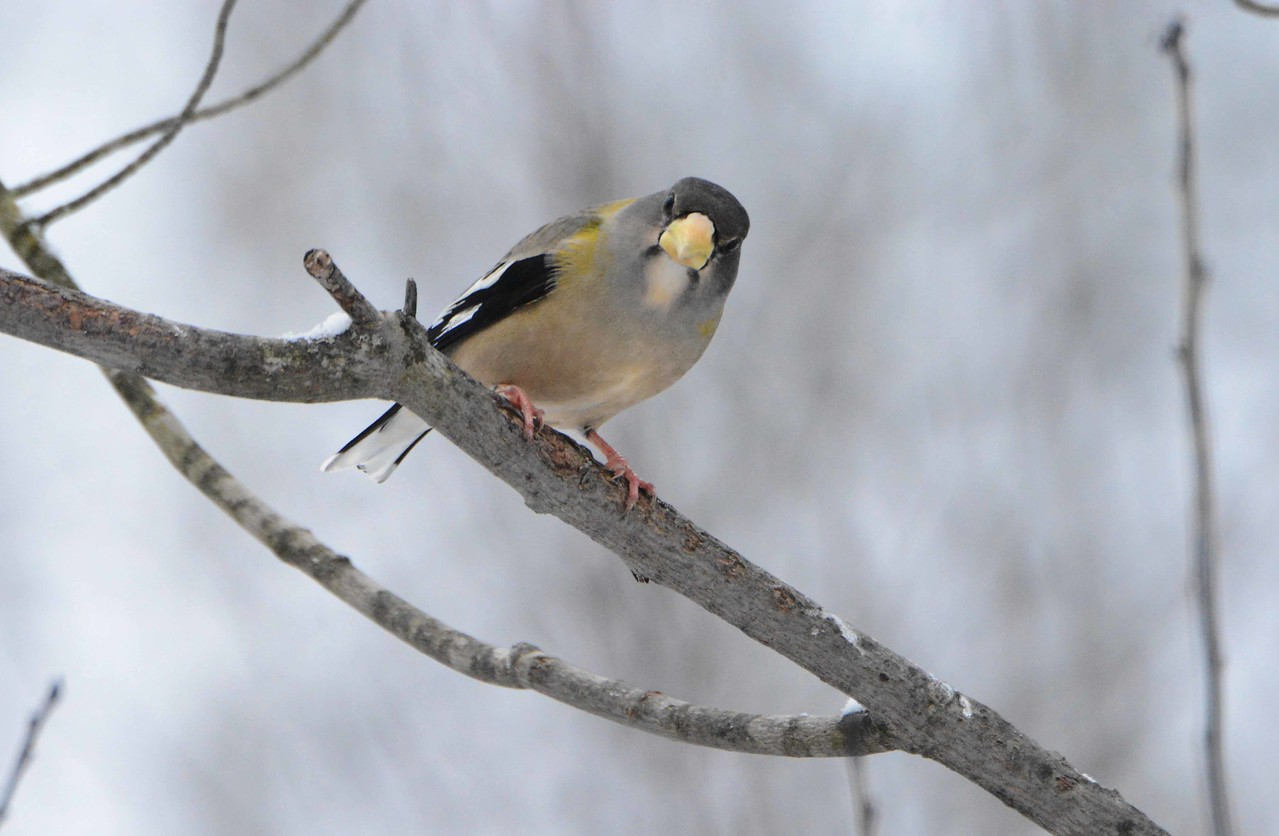 Evening Grosbeak (f) -- Coccothraustes vespertinus