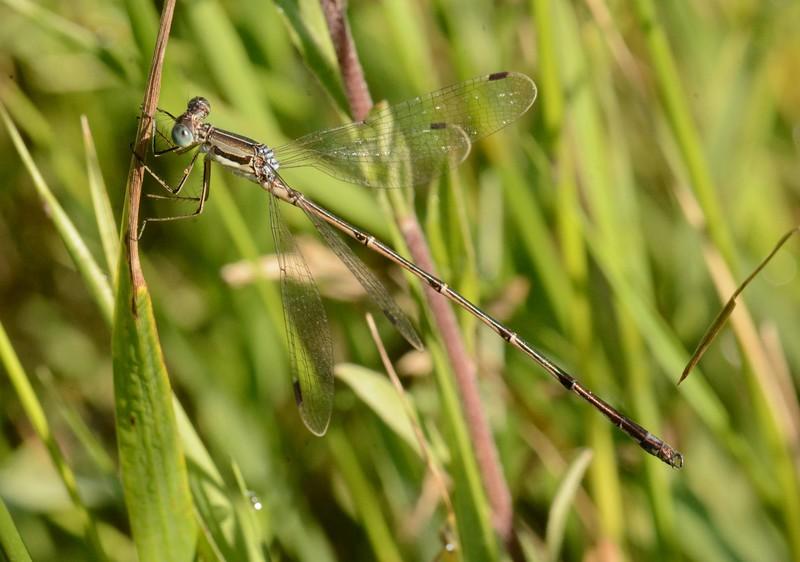 Slender Spreadwing (m) -- Lestes rectangularis