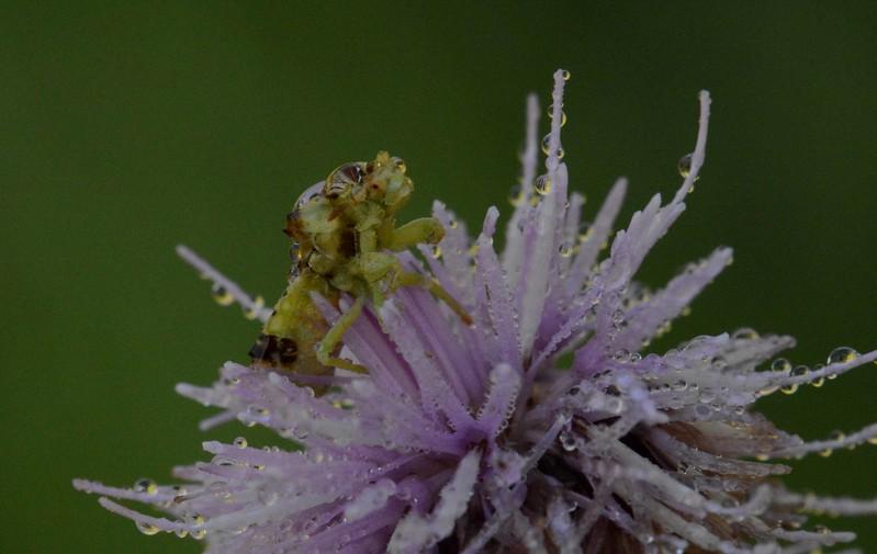 Ambush Bug -- Phymata spp.