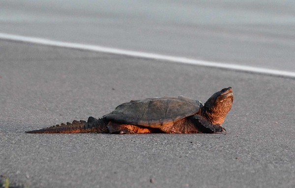 a Common Snapping Turtle -- Chelydra serpentina serpentina, eyes a dangerous four-lane crossing at sunset.