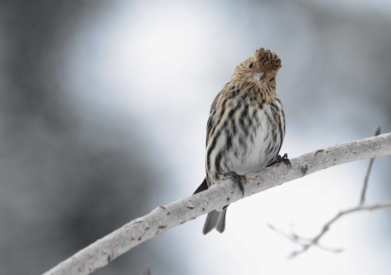 "Pine Siskin -- Spinus pinus<br /> <br /> '...In the immobile light I move my lips and perhaps I am even glad not<br /> to find the desired word.' ~ from ""City Without a Name"" by Czeslaw Milosz"
