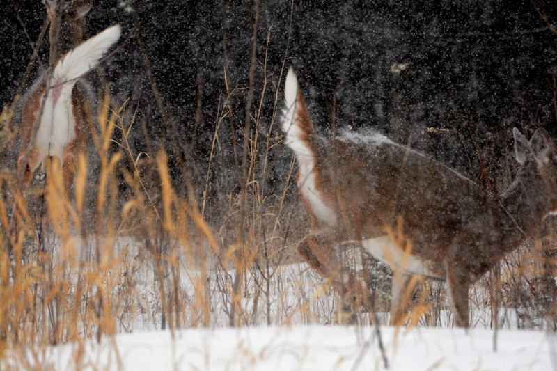 "'How is it that the snow <br /> amplifies the silence, <br /> slathers the black bark on limbs, <br /> heaps along the brush rows? <br /> <br /> Some deer have stood on their hind legs <br /> to pull the berries down. <br /> Now they are ghosts along the path, <br /> snow flecked with red wine stains. <br /> <br /> This silence in the timbers. <br /> A woodpecker on one of the trees <br /> taps out its story, <br /> stopping now and then in the lapse <br /> of one white moment into another.' ~ ""How Is It That the Snow"" by Robert Haight"