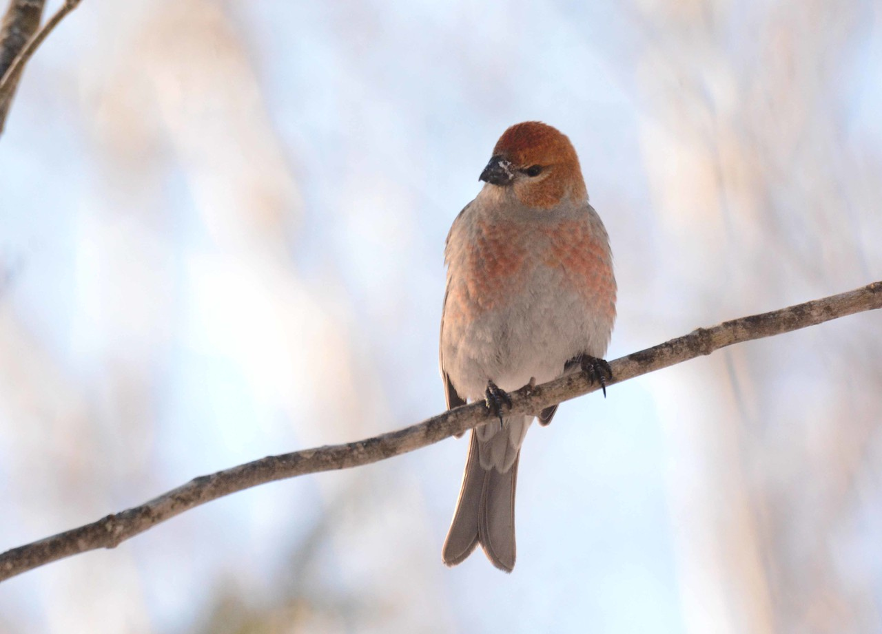 Pine Grosbeak (2nd year male) -- Pinicola enucleator