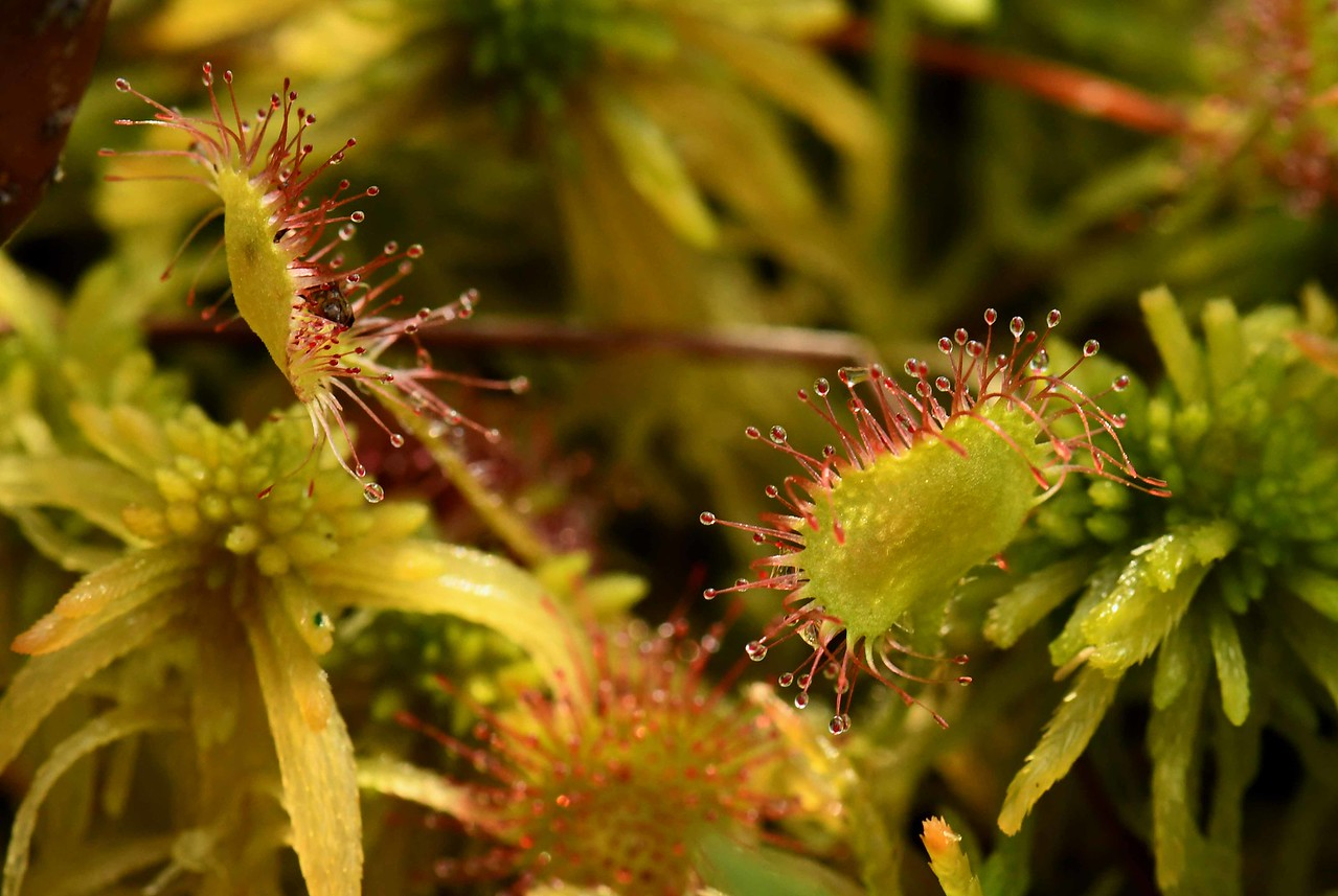 "Round-leaved Sundew -- Drosera rotundifolia<br /> <br /> ""You can't trust water, even a straight stick turns crooked in it."" ~ W. C. Fields"