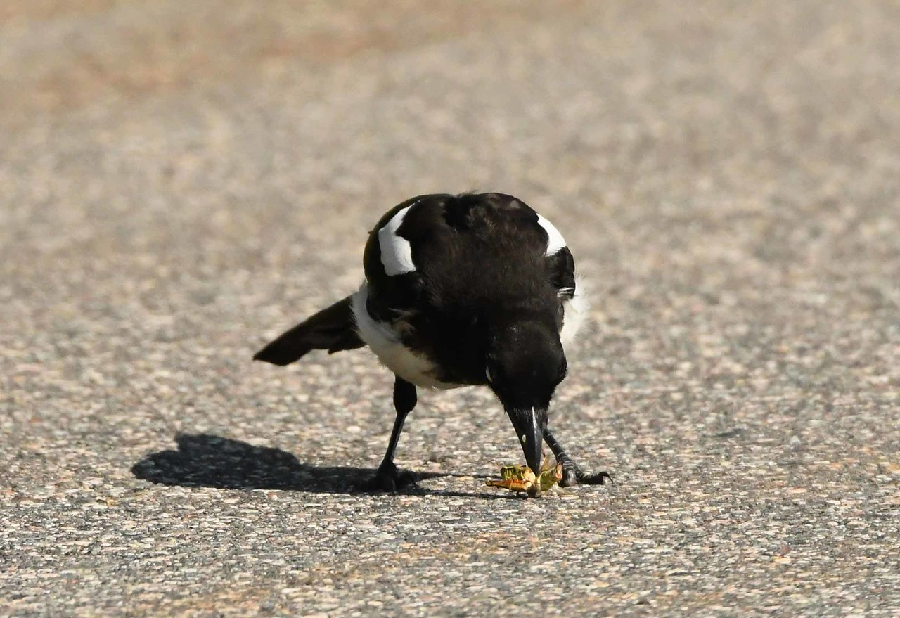 Black-billed Magpie -- Pica hudsonia, nabbing a grasshopper off the street.