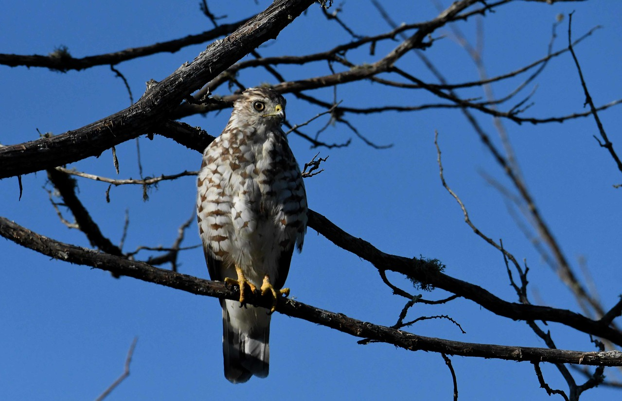 immature/juvenile Broad-winged Hawk -- Buteo platypterus