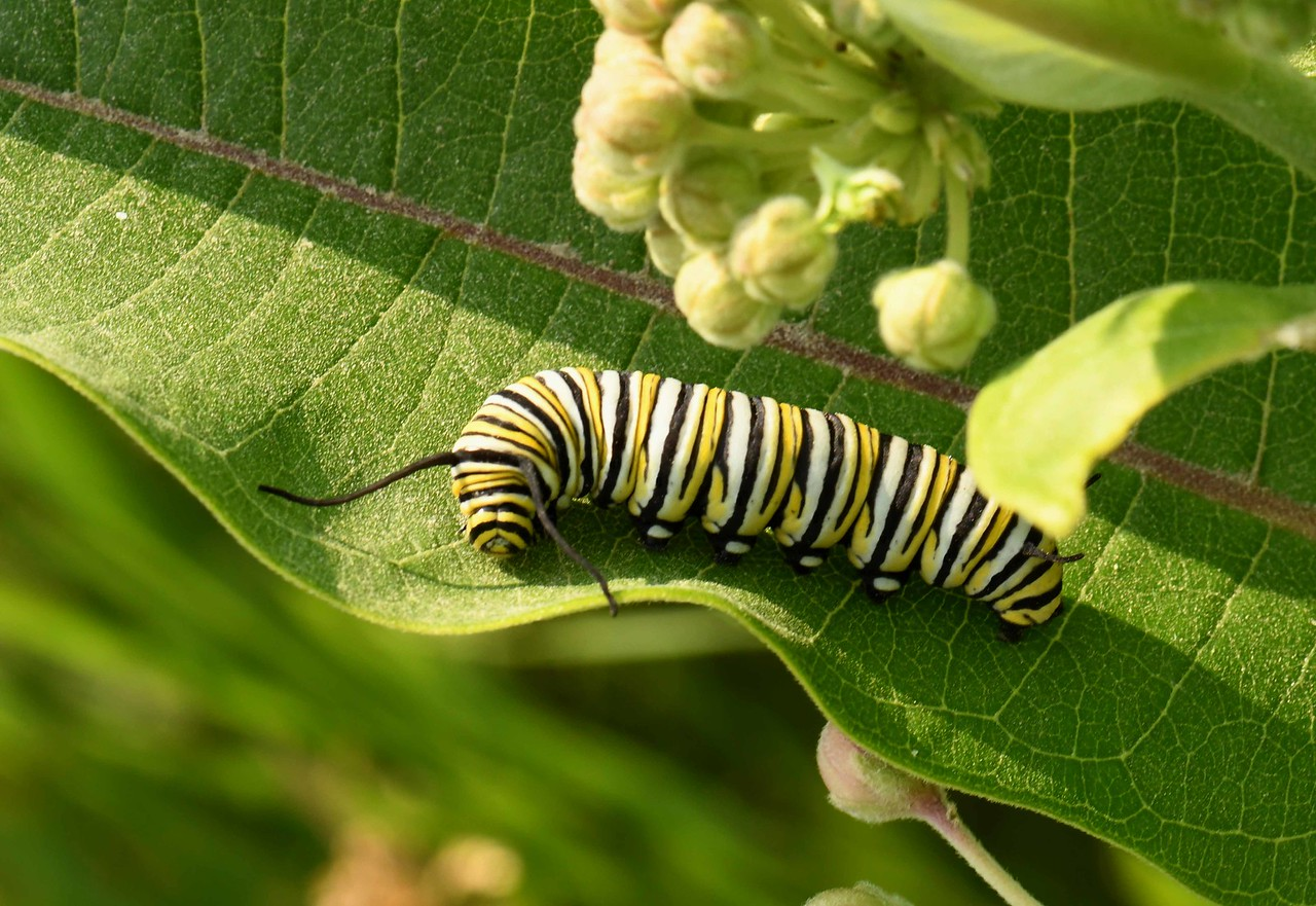 Monarch Butterfly larvae on Common Milkweed