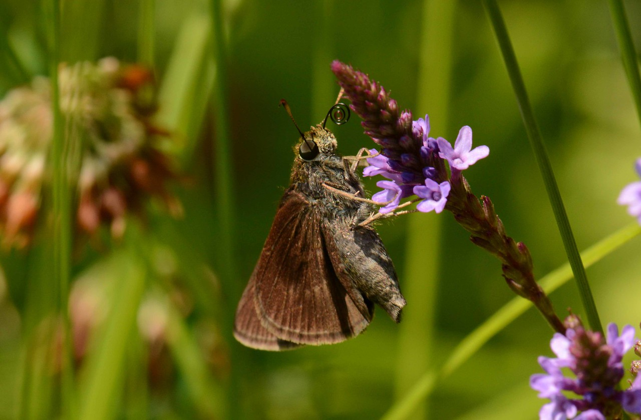 Dun Skipper -- Euphyes vestris, on Blue Vervain -- Verbena hastata