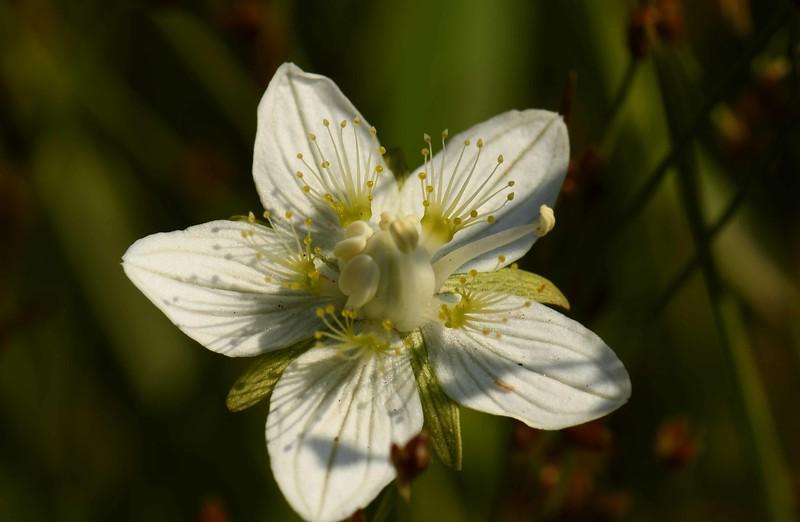 Marsh Grass of Parnassus -- Parnassia palustris, aka Bog Star