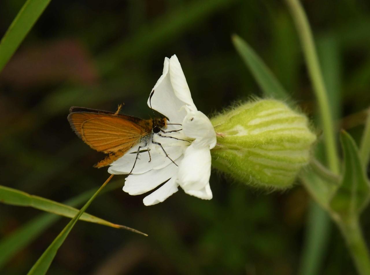 Least Skipper -- Ancyloxypha numitor, on what i think is a Catchfly bloom (alien)