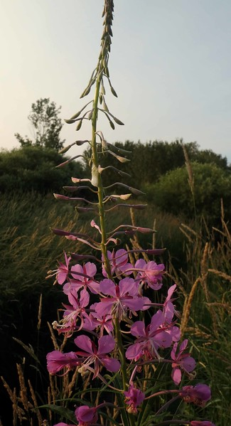 Fireweed -- Epilobium angustifolium, is not often seen as an edible plant, but young shoots can be eaten like asparagus.