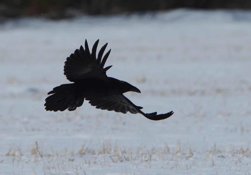 Common Raven -- Corvus corax