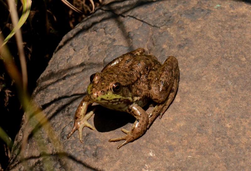 Mink Frog -- Rana septentrionalis