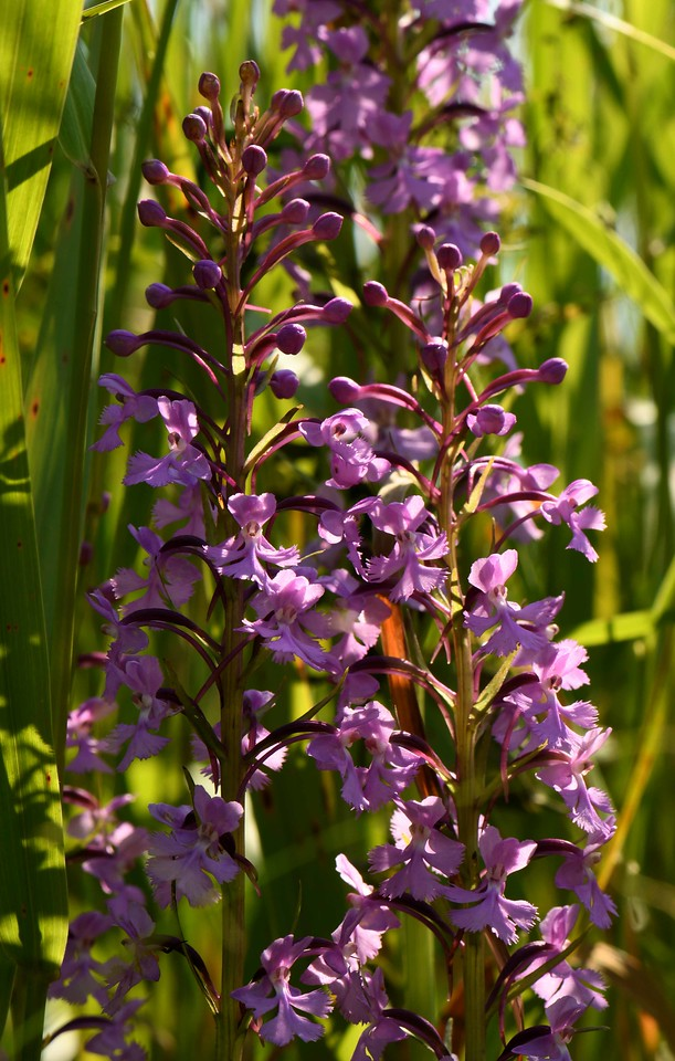 """Small Purple Fringed Orchids -- Platanthera psycodes<br /> <br /> 'A pigeon walking daintily in the street;<br /> The morning mist where backyard fences meet;<br /> An old Victoria – and in it, proud,<br /> An old, old, woman, ready for her shroud:<br /> These are the purple sights for me,<br /> Not palaces nor pageantry.' ~ """"Purple"""" by Margaret Steele Anderson"""