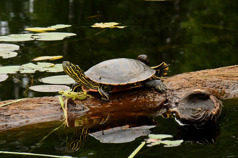 Western Painted Turtle -- Chrysemys picta bellii
