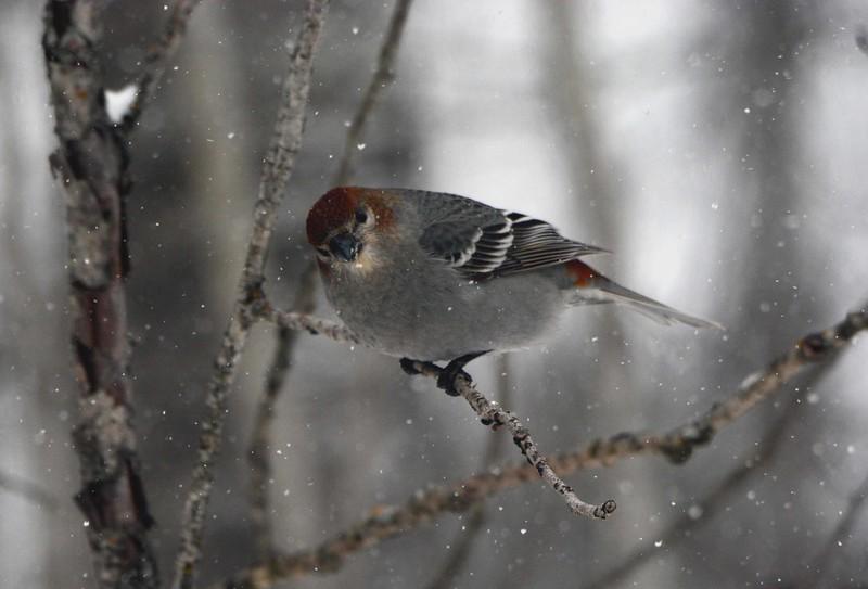 Pine Grosbeak (f) -- Pinicola enucleator (russet variation)
