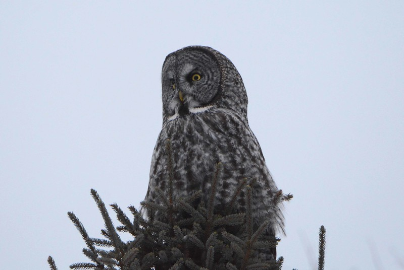 Great Gray Owl -- Strix nebulosa<br /> <br /> 'Winter, a bad guest, sitteth with me at home; blue are my hands with his friendly handshaking.' ~ Nietzsche, Thus Spoke Zarathustra, Part III.