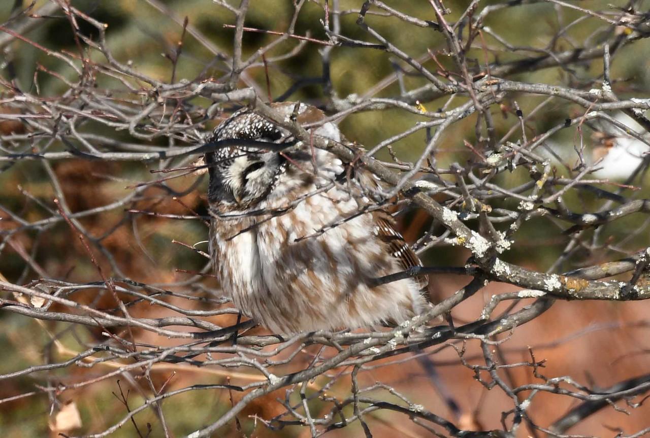 Boreal Owl -- Aegolius funereus