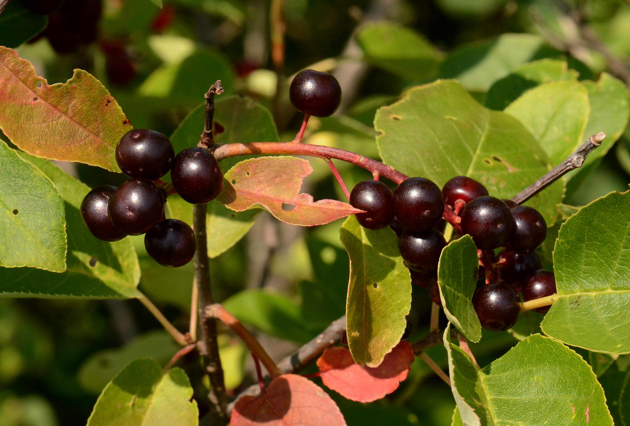 Chokecherry -- Prunus virginiana