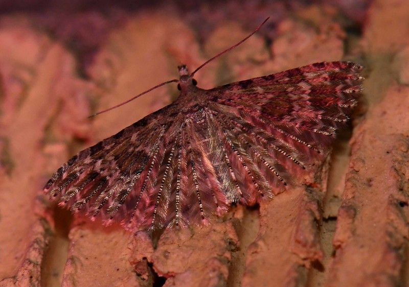 "Six-plume Moth -- Alucita montana, Hodges# 2313 MPG 440001<br /> <br /> 'And in the School of Darkness learn<br /> What mean<br /> ""The things unseen.""' ~ John Banister Tabb, ""Going Blind"""