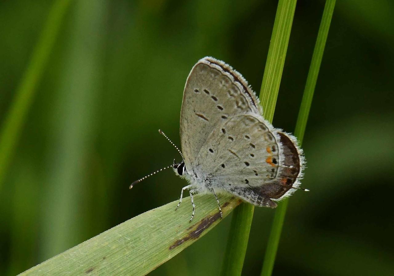 Eastern Tailed Blue (m) -- Cupido comyntas
