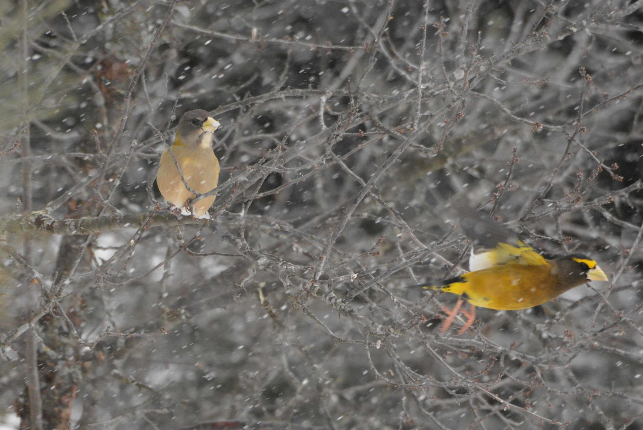 Evening Grosbeaks -- Coccothraustes vespertinus