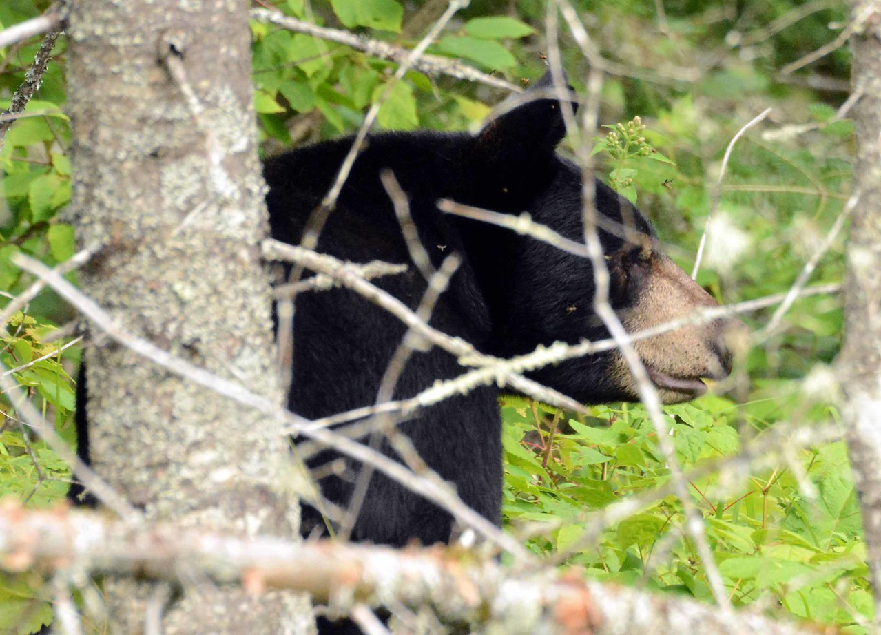 "Black Bear -- Ursus americanus<br /> <br /> ""Without wilderness the world is a cage."" ~ David Brower"