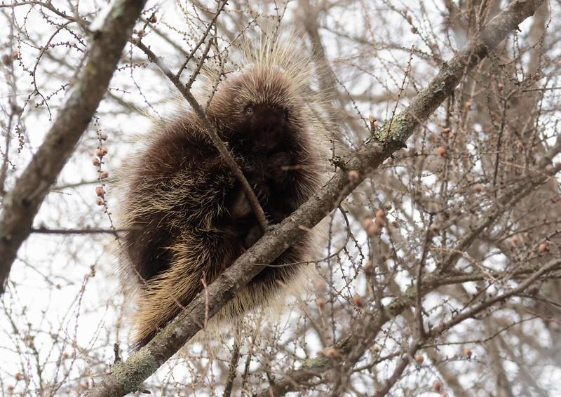 North American Porcupine -- Erethizon dorsatum
