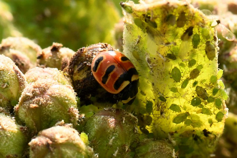 Three-banded Ladybug -- Coccinella trifasciata, a native ladybug species and beneficial predator of farm and garden pests.