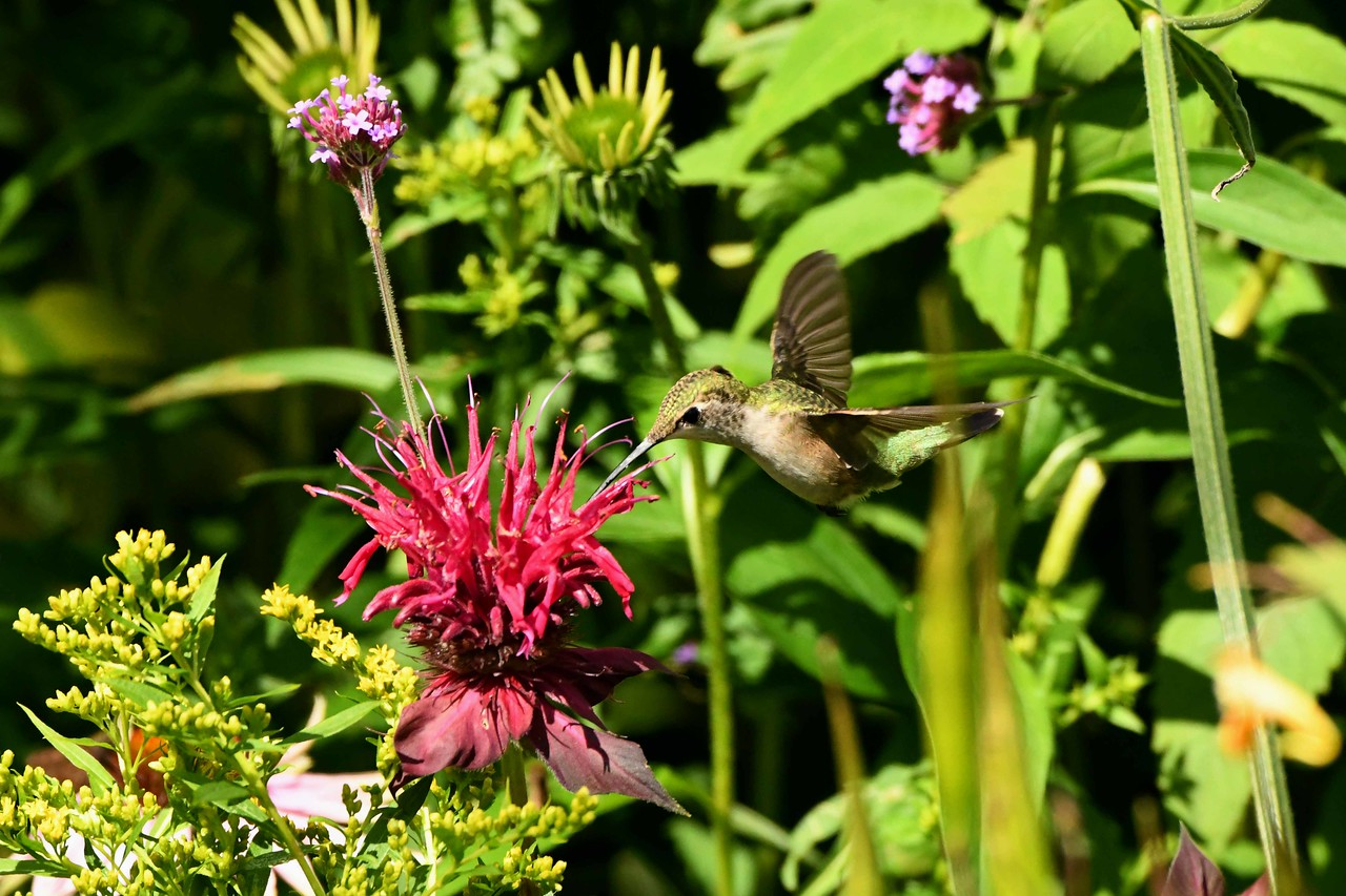 Ruby-throated Hummingbird -- Archilochus colubris, on Bee-balm -- Monarda didyma, aka Oswego-tea, Mint Family