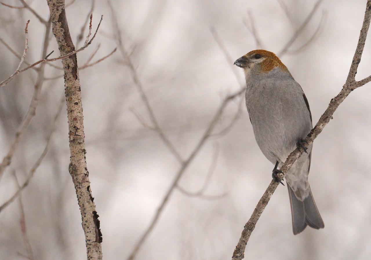 Pine Grosbeak (f) -- Pinicola enucleator