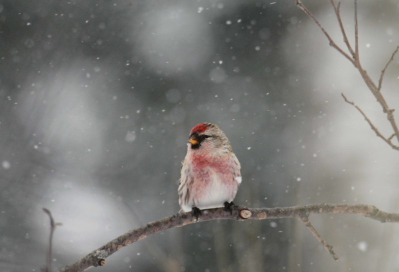 "Common Redpoll (m) -- Acanthis flammea<br /> <br /> '...The traveller owns the grateful sense<br /> Of sweetness near, he knows not whence,<br /> And, pausing, takes with forehead bare<br /> The benediction of the air.' ~ from ""Snow-bound: A Winter Idyl"" by John Greenleaf Whittier"