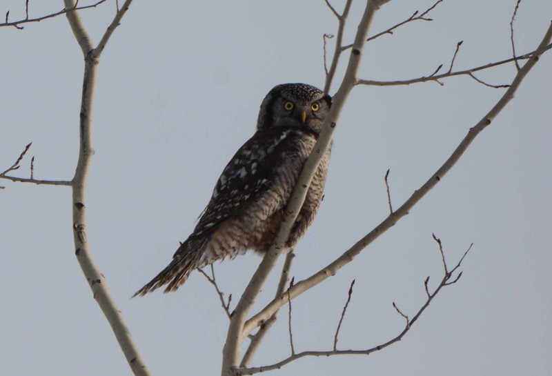 "Northern Hawk Owl -- Surnia ulula, visual range approx. one half-mile.<br /> <br /> 'On the ragged edge of the world I'll roam<br /> And the home of the wolf shall be my home<br /> And a bunch of bones on the boundless snows<br /> The end of my trail ... who knows, who knows!' ~ Robert Service, ""The Nostomaniac"""