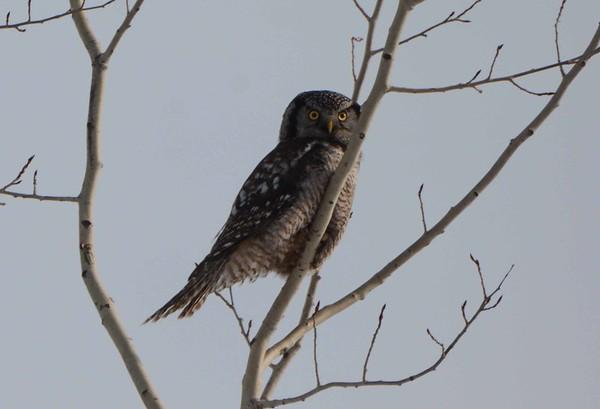 Northern Hawk Owl -- Surnia ulula