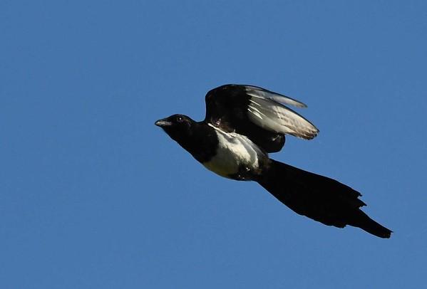 Black-billed Magpie -- Pica hudsonia