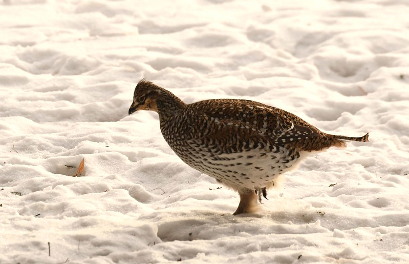 Sharp-tailed Grouse -- Tympanuchus phasianellus