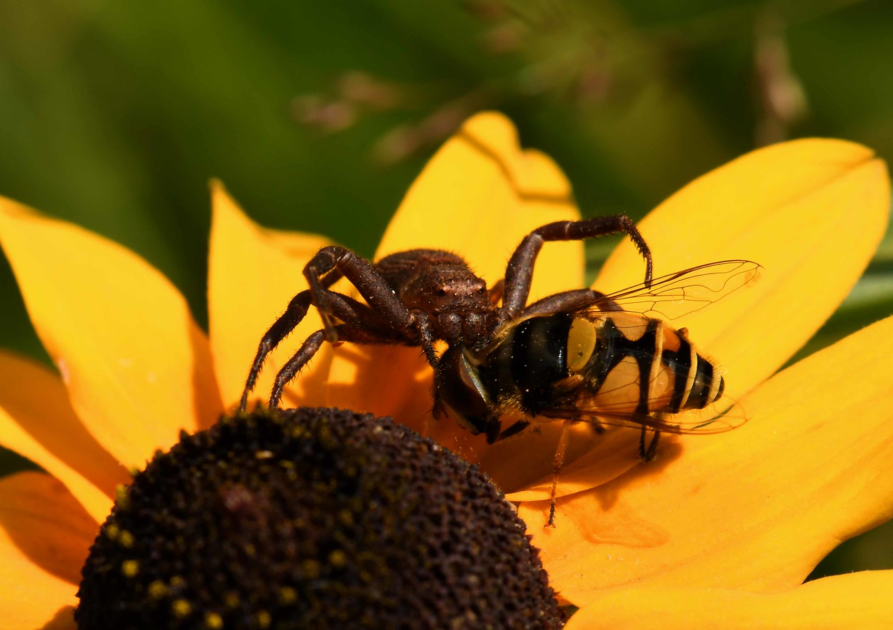 "i think this Crab Spider is Coriarachne brunneipes, dragging its prey -- Eristalis transversa, below petals.<br /> <br /> 'The first mosquito:<br /> come here, and I will kill thee,<br /> holy though thou art.' ~ ""And I Beg Your Pardon"" by Wendell Berry"