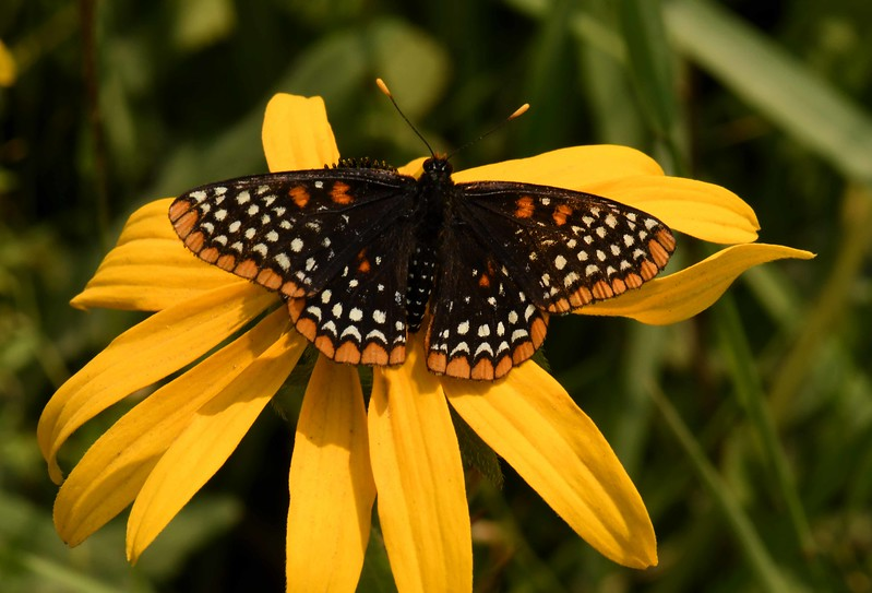 Baltimore Checkerspot -- Euphydryas phaeton