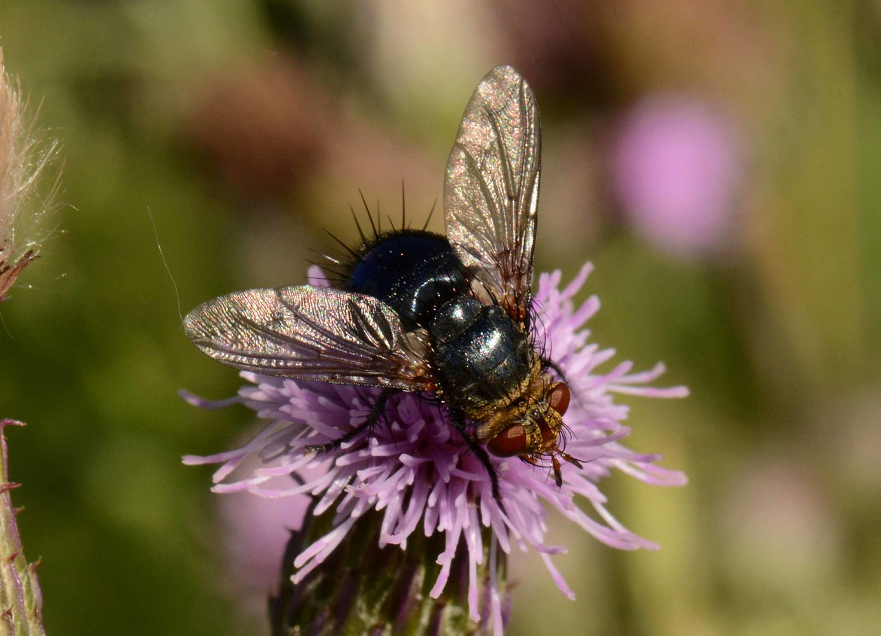 Parasitic Fly, Family Tachinidae<br /> <br /> Beneficial, hairy, grotesque,<br /> We'd rather not think about how you live<br /> Spoiled as we are in our stewing imbalances.<br /> Your lecturing buzz remains unheard<br /> So don't give me that look okay?