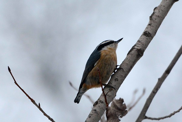 Red-breasted Nuthatch -- Sitta canadensis