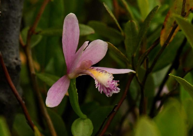Rose Pagonia -- Pagonia ophioglossoides