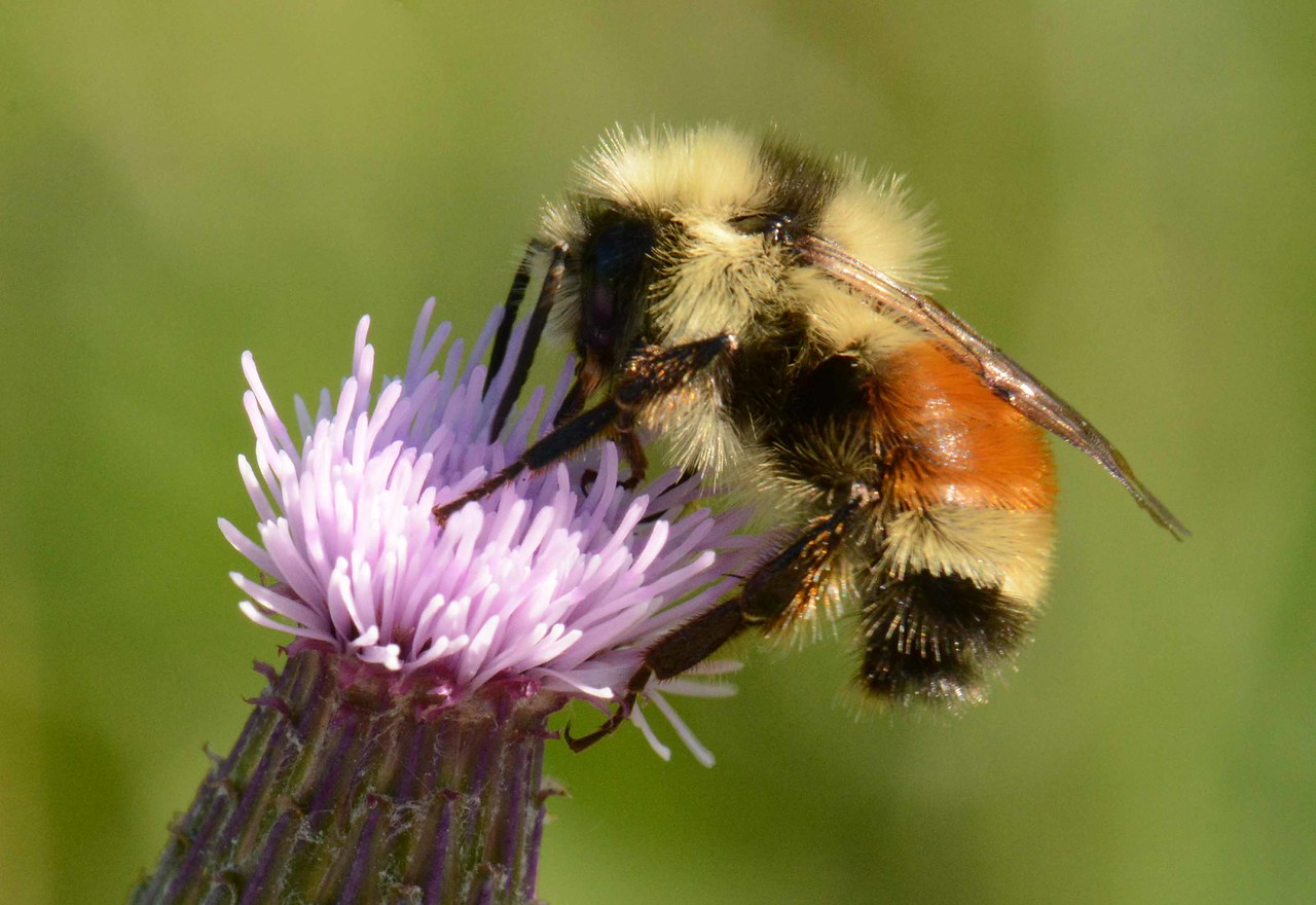 Orange-belted Bumblebee -- Bombus ternarius (female worker). All hail the bees who cherish plants and honey!<br /> <br /> 'shine until tomorrow, let it bee'