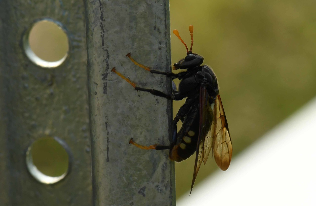 Elm Sawfly (f) -- Cimbex americana, largest North American sawfly.