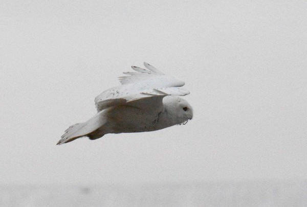 """Snowy Owl (male) -- Bubo scandiacus  'This owl, white-winged upon my chimney top, One with the unseen presences of air Has come through winter with a single stop Upon the blizzards from his Arctic lair. He knows the shifting forms that moisture takes— The freezing crystals of the upper void. He scans indifferently the falling flakes That make his world; his hunger is not cloyed. The city is not real to him at all, He takes it for a perch upon the blast After a meal of field mice, and will fall Asleep a moment, judging it will last Firm for an owl's claw till the time he'll flit Up through the dark, and let snow cover it.' ~ """"Winter Visitant"""" by Loren Eiseley, 1943."""