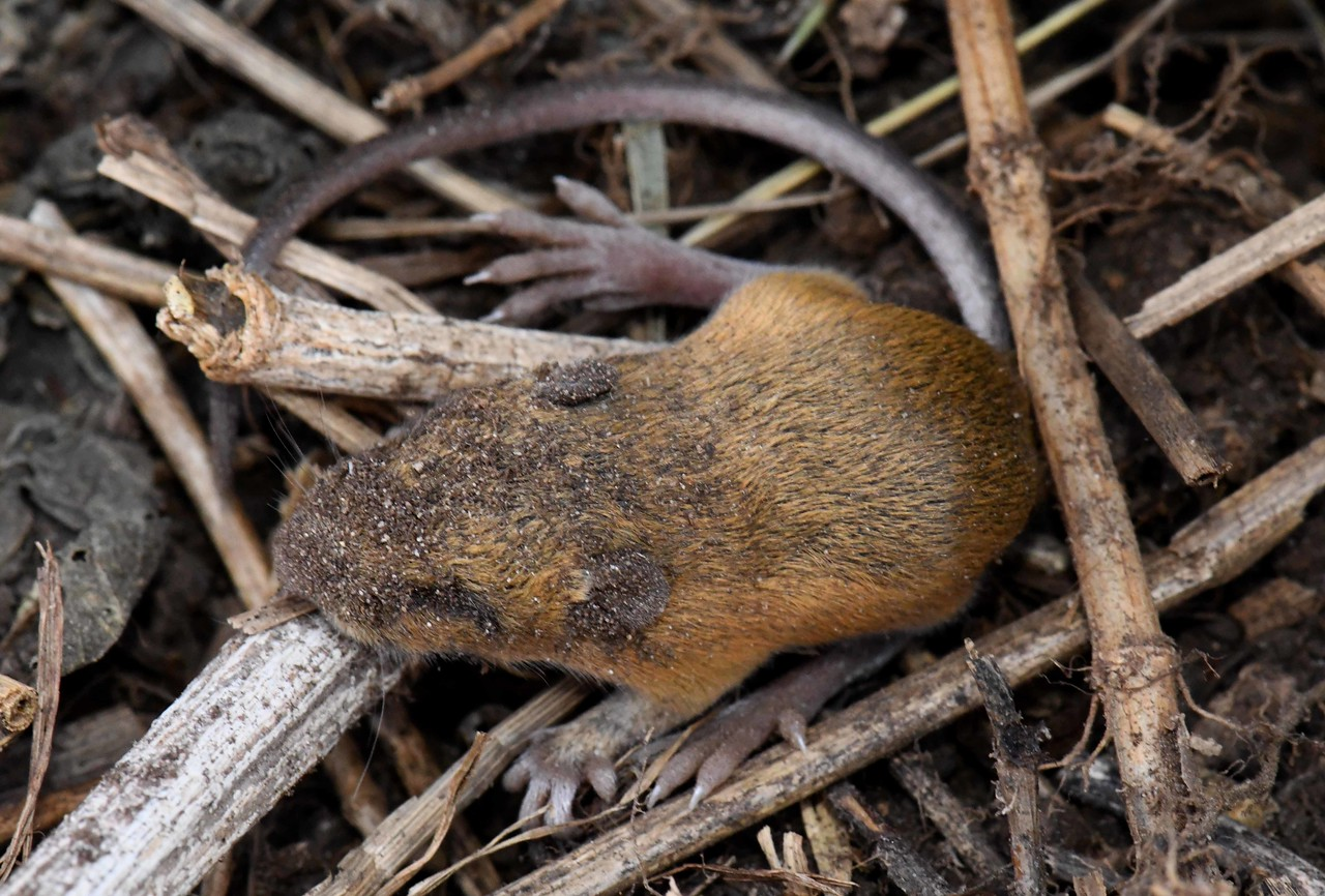 In northern regions, hibernation for Woodland or Meadow Jumping Mice can last six months or more.