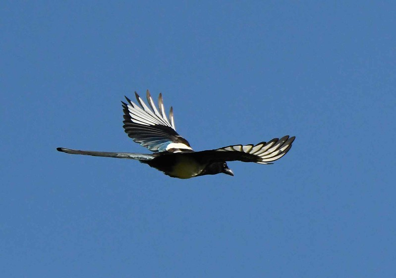 To see a magpie in the sky may be enough ...
