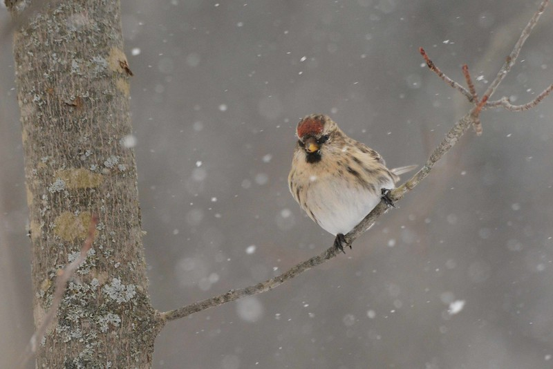 "Common Redpoll (1st-year f) -- Acanthis flammea<br /> <br /> ""The environment of solitude is a human need rather than a luxury or a plaything."" ~ Robert S. Yard"