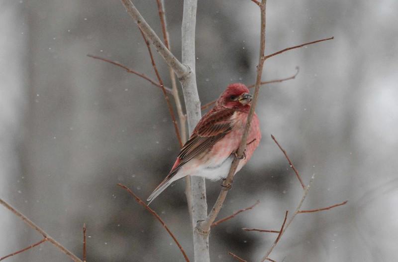 Purple Finch (m) -- Haemorhous purpureus