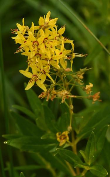 Yellow Loosestrife -- Lysimachia terrestris, Primrose Family. aka Swamp Candles