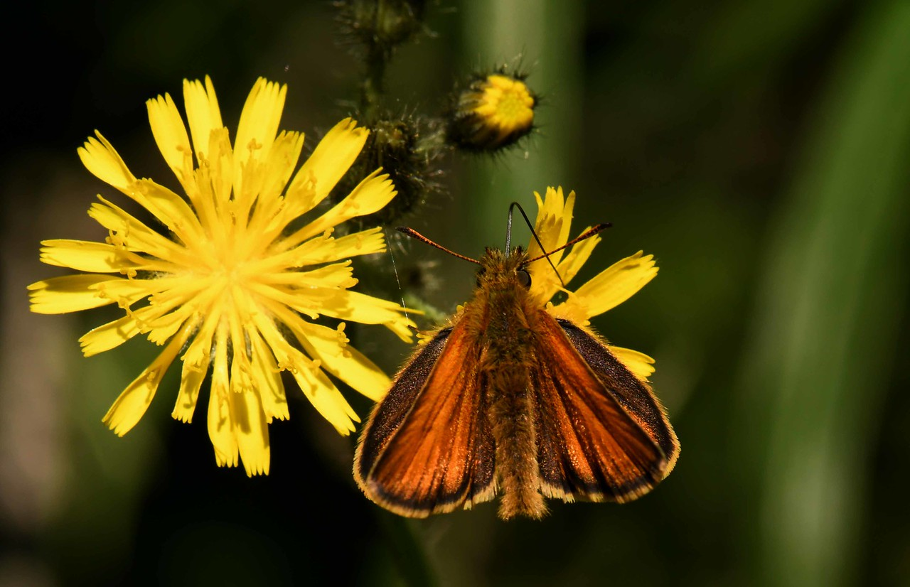 European Skipper -- Thymelicus lineola, on Sow-thistle (alien)